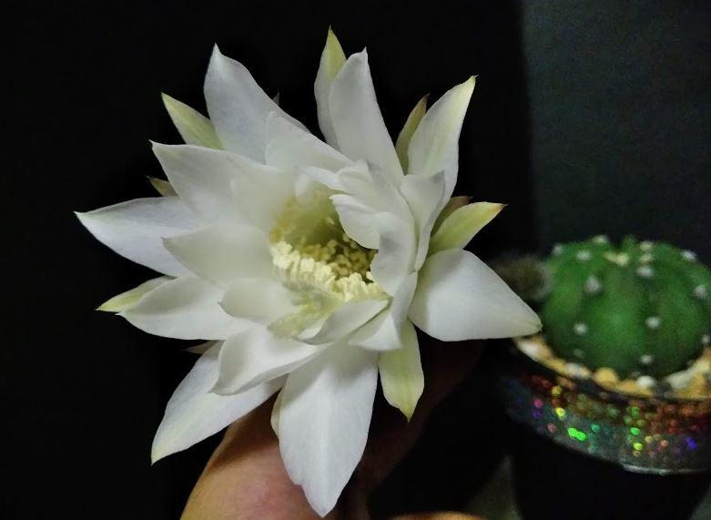 大豪丸の花