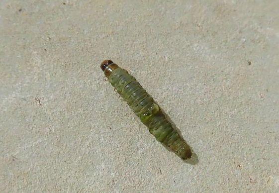 サボテンについた虫